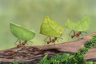 ants-carrying-leaves
