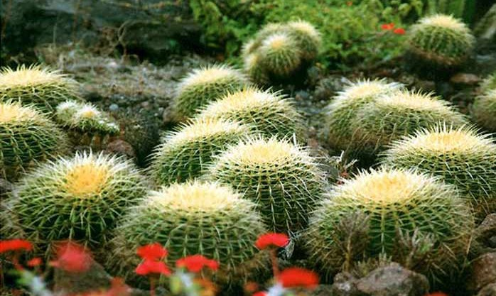 kaktus kamputer