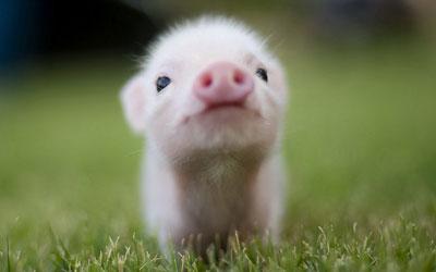 pig-09