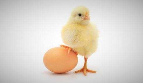 toyuq-cuce-yumurta