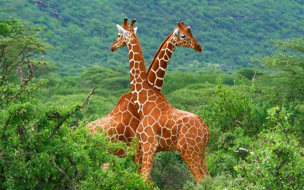 Giraffe-Wallpaper-MSOuE.jpg11